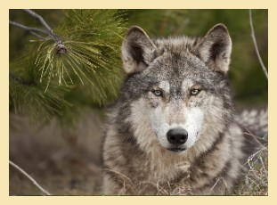 Wolf, istockphoto (c) Holly Kuchera
